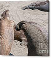 Elephant Seal Colony On Big Sur  Canvas Print