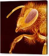 Honey Bee, Sem Canvas Print