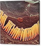 Inner Ear Hair Cells, Sem Canvas Print