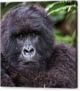 Mountain Gorilla Canvas Print