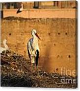 Storks In Marrakech Canvas Print