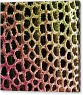 Diatom Alga, Sem Canvas Print
