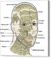 Illustration Of Facial Muscles Canvas Print