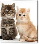 Maine Coon Kittens Canvas Print