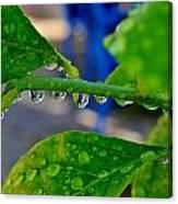Raindrops On Leaf Canvas Print