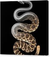 Southern Pacific Rattlesnake X-ray Canvas Print
