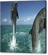 Bottlenose Dolphin Tursiops Truncatus Canvas Print
