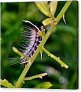 Hairy Caterpillar Canvas Print