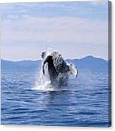 Humpback Whale Breaching Canvas Print