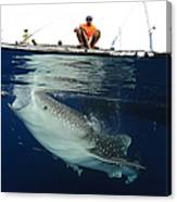 Whale Shark Feeding Under Fishing Canvas Print