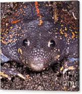 Mexican Burrowing Toad Canvas Print
