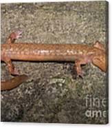 West Virginia Spring Salamander Canvas Print