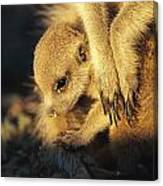 A Baby Meerkat Snuggles Canvas Print