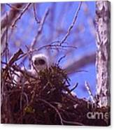 A Baby Red Tail Gazing From Its Nest Canvas Print