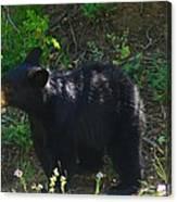 A Bear Cub Canvas Print