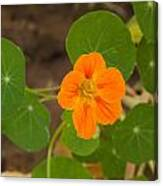 A Beautiful Orange Trumpet Shaped Flower With Green Leaves Canvas Print