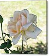 A Beautiful White And Light Pink Rose Along With A Bud Canvas Print