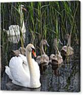 A Bevy  Of Swans. Canvas Print