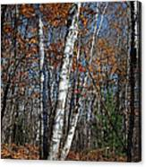 A Birch Radiating Its White Beauty In The Forest Canvas Print