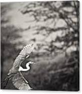 A Bird With A Large Wing Span Takes Canvas Print