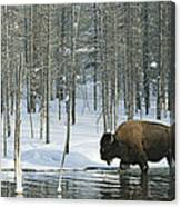 A Bison Stands In A Cold  Stream Canvas Print