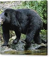 A Black Bear, Ursus Americanus, Walks Canvas Print