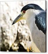 A Black-crowned Night Heron  Canvas Print