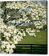 A Blossoming Dogwood Tree In Virginia Canvas Print