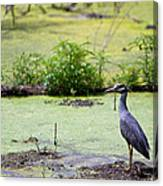 A Blue Bird In A Wetland -yellow-crowned Night Heron  Canvas Print