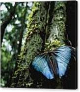 A Blue Morpho Butterfly Canvas Print