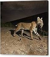 A Bobcat Crosses A Rio Grande Border Canvas Print