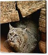 A Bobcat Pokes Out From Its Alcove Canvas Print