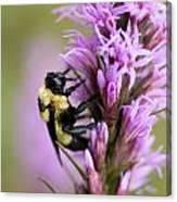 A Bombus Bumblebee On A Canvas Print