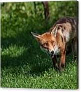 A British Red Fox Canvas Print