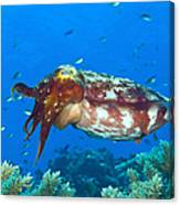 A Broadclub Cuttlefish, Kimbe Bay Canvas Print