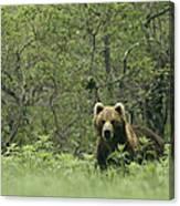 A Brown Bear In Tall Grasses Canvas Print