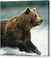 A Brown Bear Rushing Through Water Canvas Print