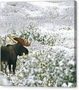 A Bull Moose On A Snow Covered Hillside Canvas Print