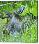 A Bull Moose Wading His Pond Canvas Print