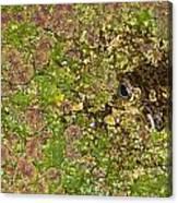 A Bullfrog Rana Catesbeiana Hiding Canvas Print