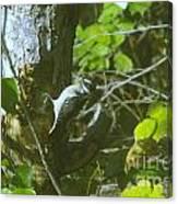 A Busy Woodpecker  Canvas Print