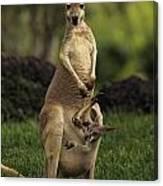 A Captive Red Kangaroo Macropus Rufus Canvas Print