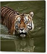 A Captive Sumatran Tiger Panthera Canvas Print