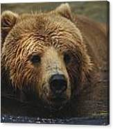 A Close View Of A Captive Kodiak Bear Canvas Print