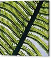 A Close View Of A Fern Canvas Print