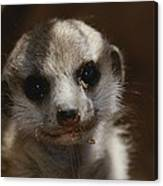 A Close View Of A Meerkat Suricata Canvas Print