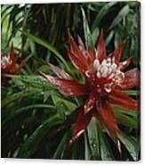 A Close View Of A Tropical, Red Flower Canvas Print