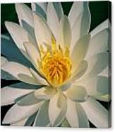 A Close View Of A White Fragrant Water Canvas Print