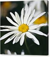 A Close View Of A Wild Daisy Canvas Print