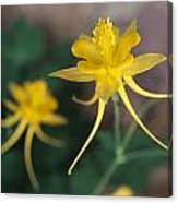 A Close View Of A Yellow Columbine Canvas Print